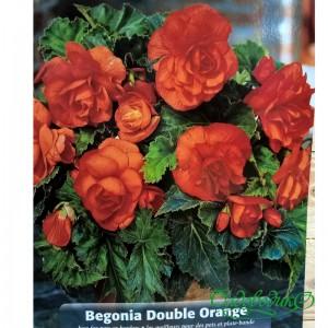 Бегония клубневая оранжевая