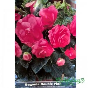 Бегония клубневая розовая