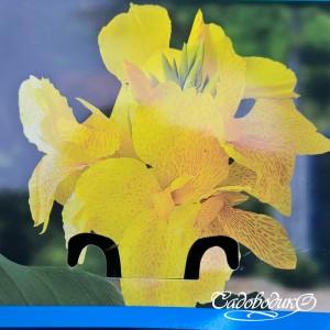 Канна жёлтая