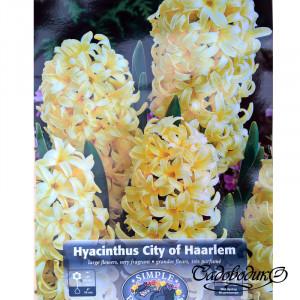 Гиацинты CITY HAARLEM